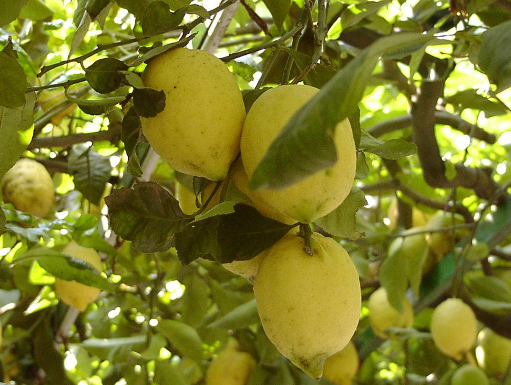 Photo of three lemons