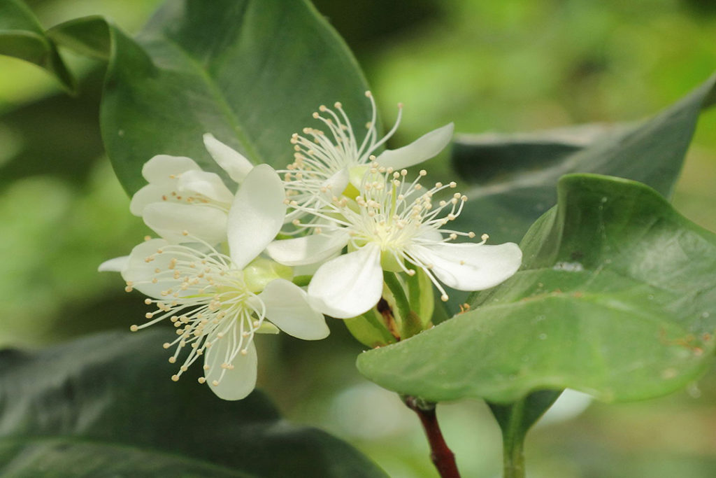 Photo of four allspice tree flowers
