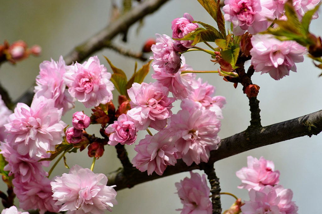 Photo of pink cherry blossoms