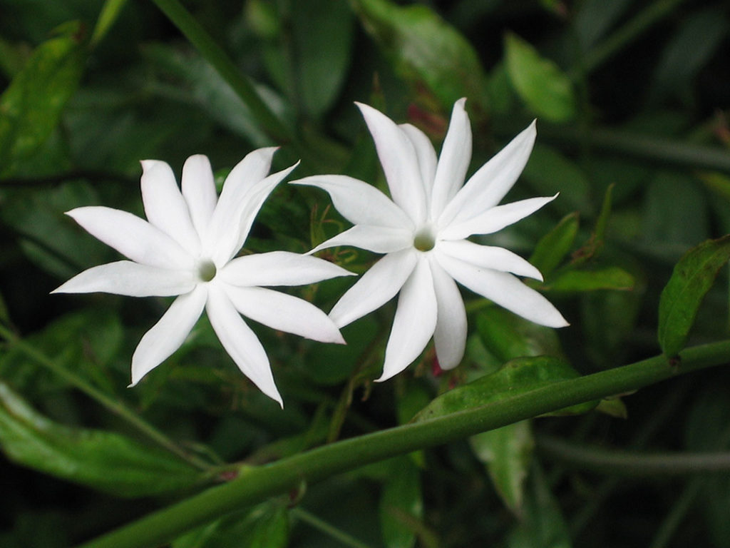 Photo of two white jasmines