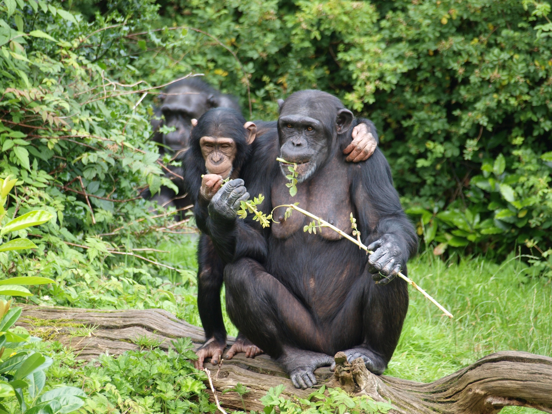 Photo of three chimpanzees sitting on a log and eating leaves