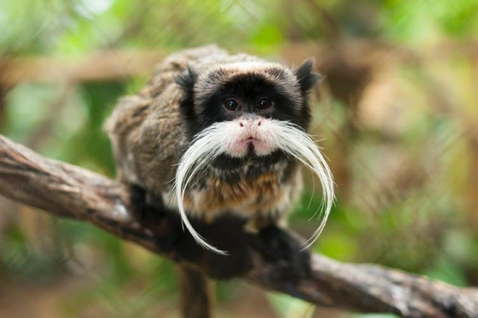 Closeup photo of a Tamarin monkey perched on a vine