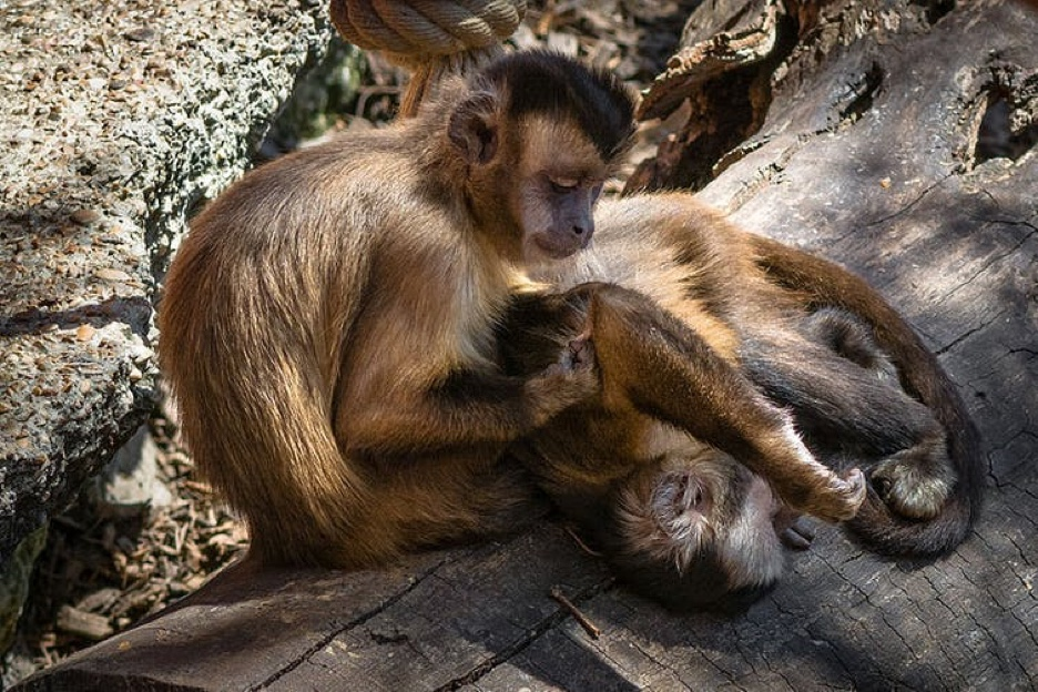Photo of two tufted capuchin monkeys grooming each other